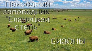 Бизоны на зеленых лугах и невероятный Дворец природы: заповедник «Еланецкая степь» с высоты. ВИДЕО
