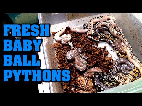 We visit TALLGRASS REPTILES!  See what ball pythons are in their incubator!!