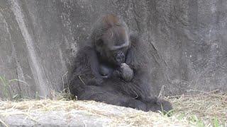 Audubon Zoo welcomes birth of critically endangered western lowland gorilla