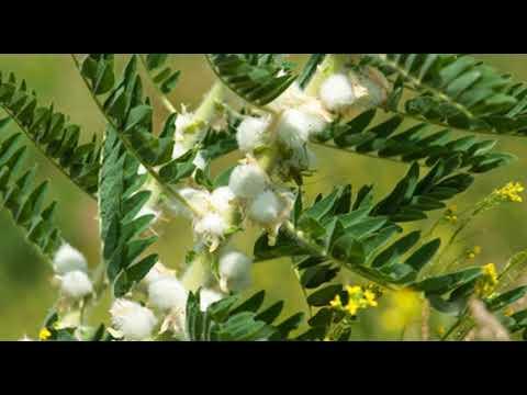 Astragalus Wurzel Wirkung