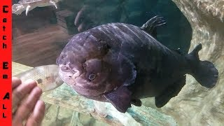 UGLY FISH on Earth 45 Years Old ANCIENT Pacu!