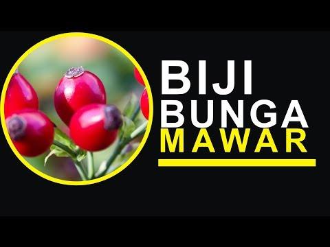 Video Cara Menanam Biji Bunga Mawar Setelah Proses Stratifikasi