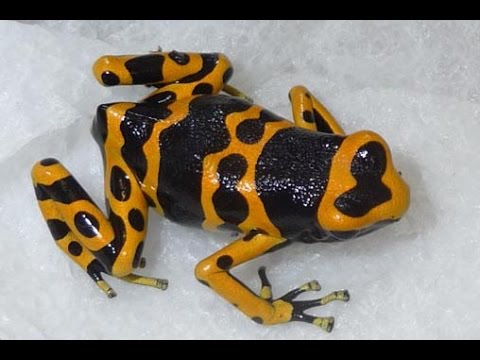 Calling Leucomelas POISON Dart Frogs