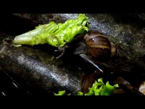 Video Wirausaha: Merintis ternak bekicot ~ Part 1