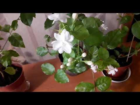 Комнатные цветы#Уход за комнатным жасмином . Как же они пахнут!!!!