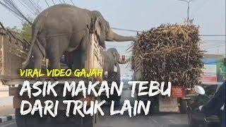 Viral Video 2 Gajah Asik Makan Tebu dari Truk yang Berada di Sampingnya