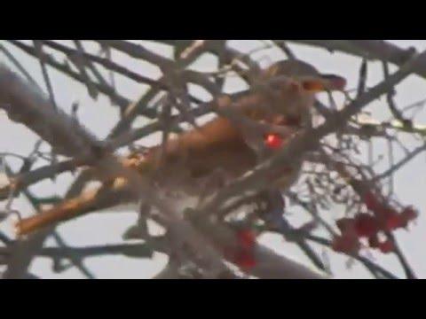 Птицы дрозды клюют рябину