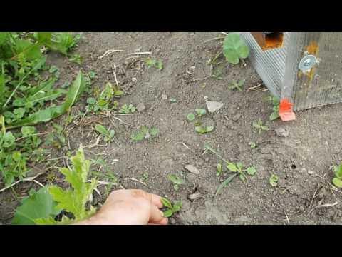 Мордовник  многолетний сорняк но хороший медонос