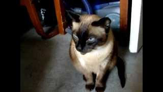 James the Siamese Cat talking and purring.