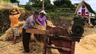 Threshing wheat - Debulhar o trigo