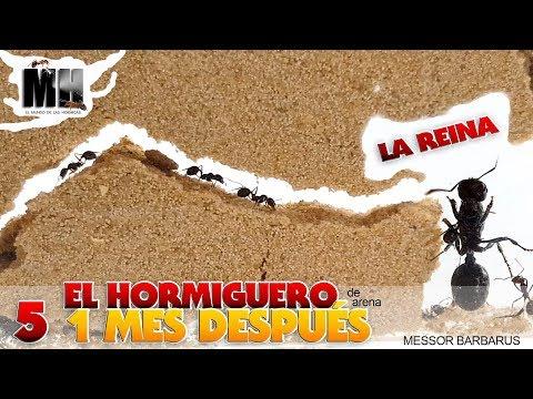 EL HORMIGUERO POR DENTRO 1 MES DESPUÉS | Hormigas Messor Barbarus