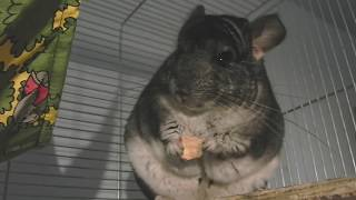 A standard grey chinchilla enjoying dried apple
