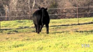 2012 Buck Spring Bull Sale Y58