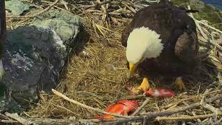 03-20-18 West End eagles; feeding the new baby.