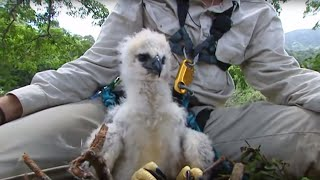 Inside a Harpy Eagle Nest | Ultimate Killers | BBC