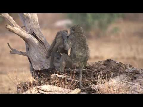 It's not only our guests that take time out to relax, unwind and rejuvenate at Saruni lodges and camps across Kenya (www.saruni.com). Check out these baboons with their all too human behaviour! It really is a baboon's life! Video credit: Philip Dickenson of Yoga for Nature. http://yogafornature.org/