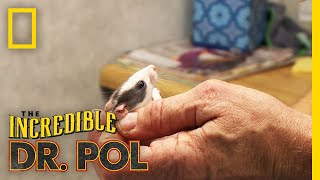 Tiny Rats Have the Sniffles | The Incredible Dr. Pol