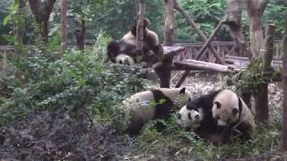 Pandas in fight