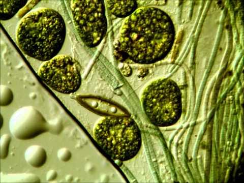 Giardiasis gyógynövényes kezelés