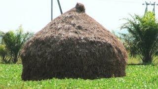 Hay Stacks in Paddy Fields, Andhra Pradesh