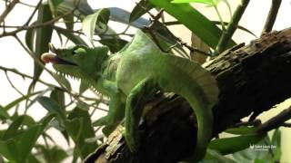 Four Horned Chameleon Catches A Worm At Saint Louis Zoo