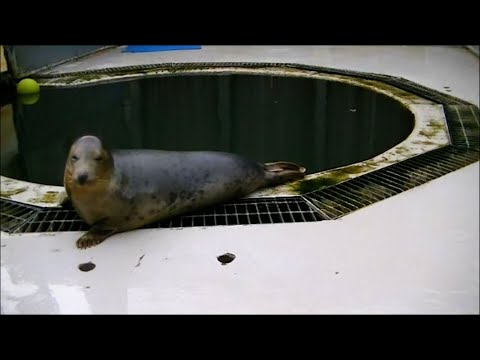 Seals Can Copy Human Voices and Sing