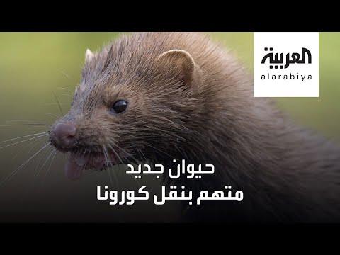 العرب اليوم - شاهد: حيوان جديد متهم بنقل فيروس