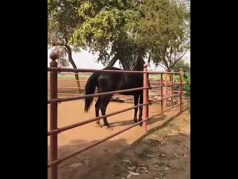 Marwari Filly Revati - Sired By Late Stallion BEST 👍💯 Alishaan Of Rohetgarh