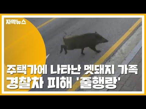[자막뉴스] 주택가에 나타난 멧돼지 가족...경찰차 피해 '줄행랑' / YTN