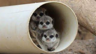 3 Irresistible Baby Meerkat Musketeers Learn to Find Their Footing