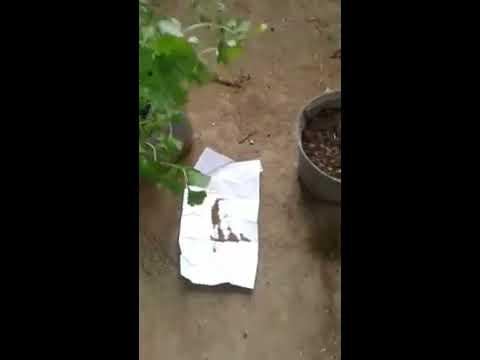 Video cara menanam bibit daun sop atau seledri