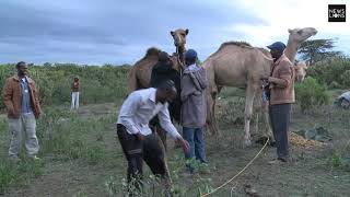 Two men falls from camel back footage from Kenya