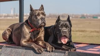 Cane Corso - Great Family Guardian