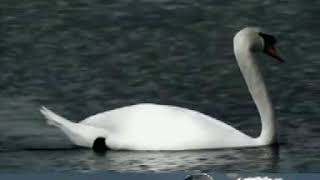 Learn How To Raise Swans