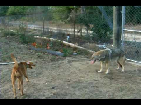Dogs Attacking Coyote In Fox Pen