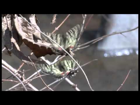ヒメギフチョウの交尾