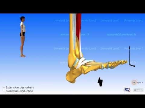 Les muscles la structure du tissu musculaire