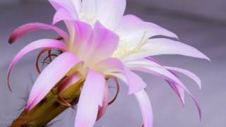 Blooming Queen of the Night Cactus Time-Lapse