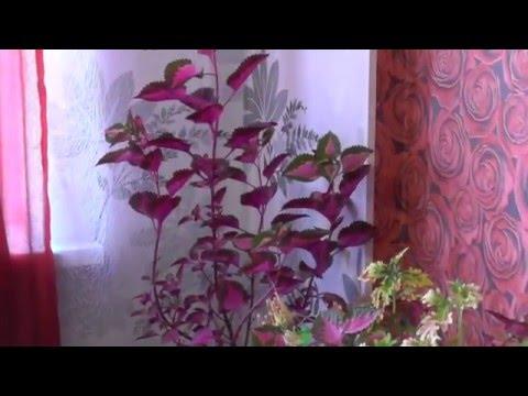 416. Комнатные цветы. Уход и выращивание. Колеус, бегония вечнозелёная, герань, щучий хвост,