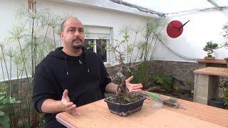 Como recuperar un bonsai