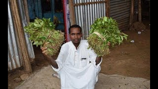 Chewing miraa is bad for mental health, Kemri says | PRESS REVIEW