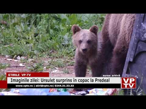 Ursuleț surprins în copac la Predeal