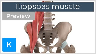Functions of the iliopsoas muscle (preview) - 3D Human Anatomy | Kenhub