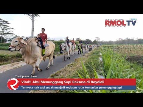 Viral!! Aksi Menunggang Sapi Raksasa di Boyolali