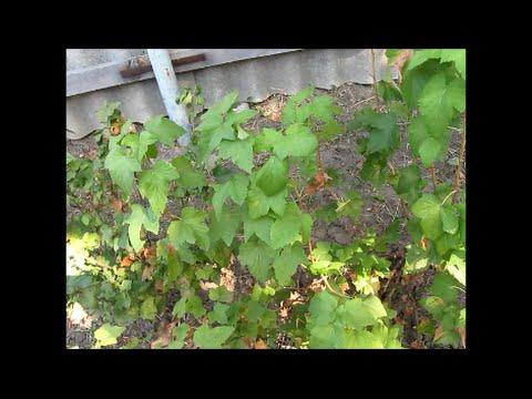 Размножение красной смородины черенками осенью