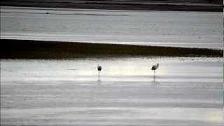 preview picture of video 'Grulla Común, Common Crane, El Hito'
