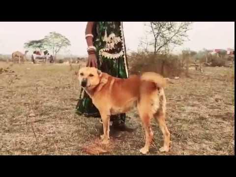 Indian desi dog & Marwari dog with Marwari people's