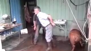 Neuspješan udarac svinje u glavu / Unsuccessful shot a pig's head