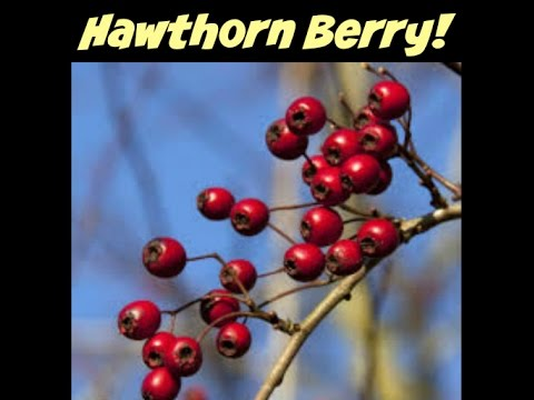 Video HAWTHORN Berries for Heart Health, Blood Pressure, Cholesterol & More!
