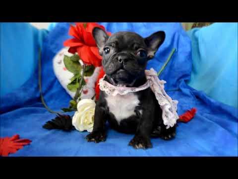 Autumn AKC Black Brindle French Bulldog Puppy for sale.